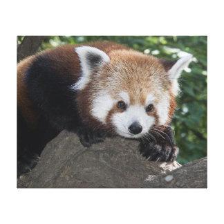Red Panda close up canvass Canvas Print