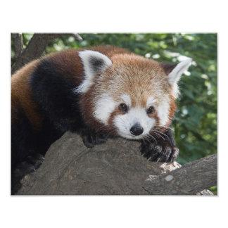 Red Panda close up Photo Art
