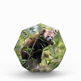 Red panda eating leaves acrylic award