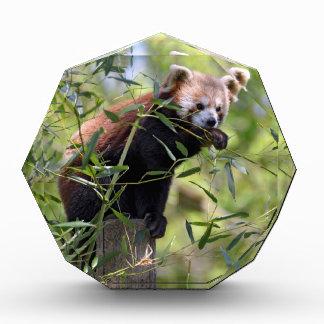 Red panda eating leaves award