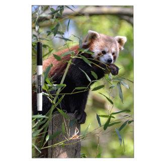 Red panda eating leaves Dry-Erase board