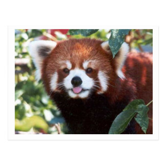 Red Panda Laughing Postcard