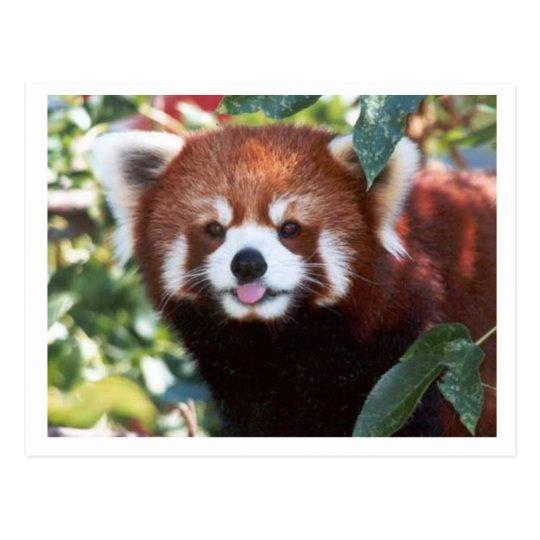 Red Panda Laughing Postcard