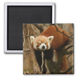 Red Panda Naptime 2 Inch Square Magnet