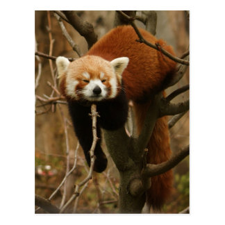 Red panda naptime postcard