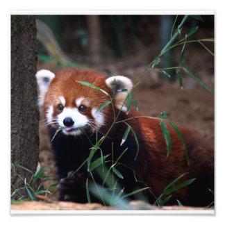 Red Panda Photo Print