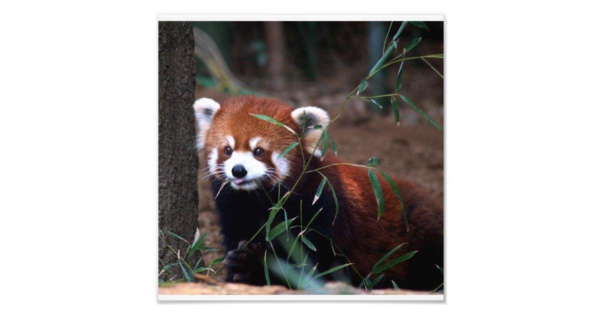 Red Panda Photo Print Zazzle Com