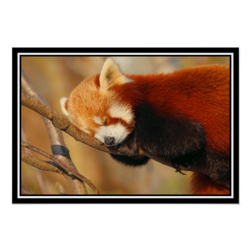 Red Panda Sleeping Poster