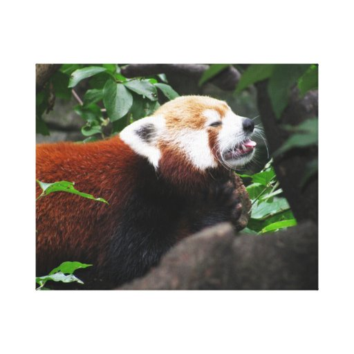 Red Panda sticking its tongue out Stretched Canvas Print