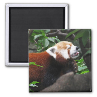 Red Panda stricking its tongue out Magnet