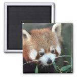 Red Panda, Taronga Zoo, Sydney, Australia 2 Inch Square Magnet