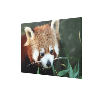 Red Panda, Taronga Zoo, Sydney, Australia Stretched Canvas Prints