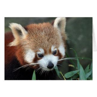 Red Panda, Taronga Zoo, Sydney, Australia Card
