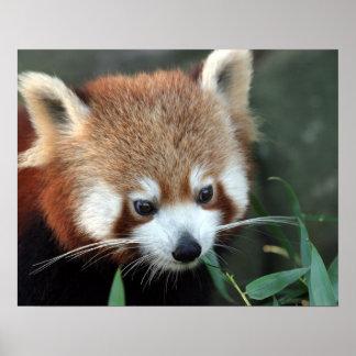 Red Panda, Taronga Zoo, Sydney, Australia Posters