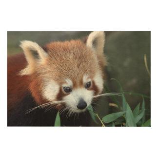 Red Panda, Taronga Zoo, Sydney, Australia Wood Print