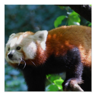 Red Panda With a Cute Face Poster