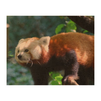 Red Panda With a Cute Face Cork Paper