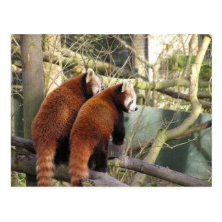 Red Pandas Postcard