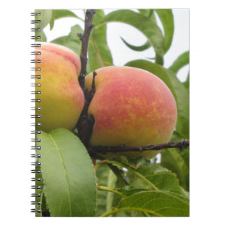 Red peaches hanging on the tree . Tuscany, Italy Notebook
