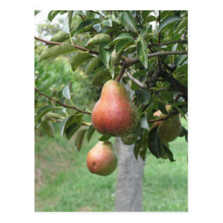 Red pears hanging on the tree . Tuscany, Italy Postcard