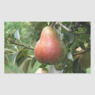 Red pears hanging on the tree . Tuscany, Italy Rectangular Sticker