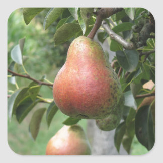 Red pears hanging on the tree . Tuscany, Italy Square Sticker