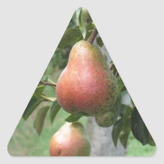 Red pears hanging on the tree . Tuscany, Italy Triangle Sticker