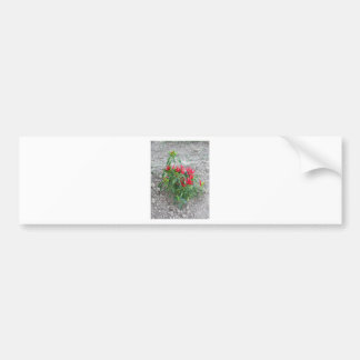 Red peppers hanging on the plant bumper sticker