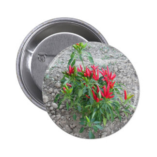 Red peppers hanging on the plant pinback button