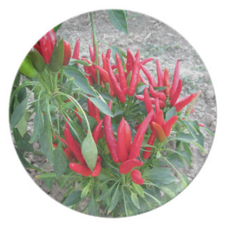 Red peppers hanging on the plant plate