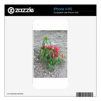 Red peppers hanging on the plant skins for the iPhone 4S