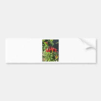Red peppers hanging on the plant . Tuscany, Italy Bumper Sticker