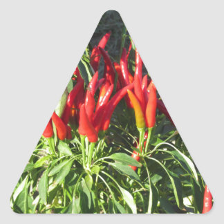 Red peppers hanging on the plant . Tuscany, Italy Triangle Sticker