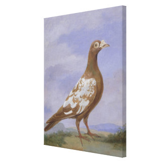 Red Pied Carrier Pigeon (oil on canvas) Canvas Print