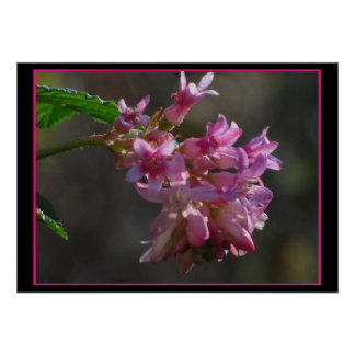 Red Pink Currant Flower Poster