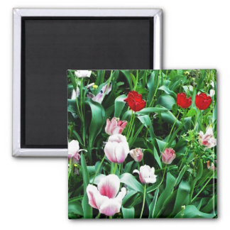Red & Pink Tulips Pictures 2 Inch Square Magnet