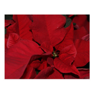 Red Poinsettia Post Cards
