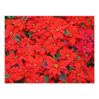Red Poinsettias Holiday Photo Print
