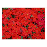 Red Poinsettias I Christmas Holiday Floral Photo Poster