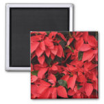 Red Poinsettias II Pretty Christmas Holiday Floral Magnet