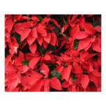 Red Poinsettias II Pretty Christmas Holiday Floral Photo Print
