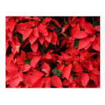 Red Poinsettias II Pretty Christmas Holiday Floral Postcard