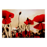 Red Poppies at Dusk Poster Print