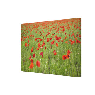 Red poppies blooming in field canvas print