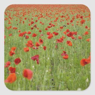 Red poppies blooming in field square sticker