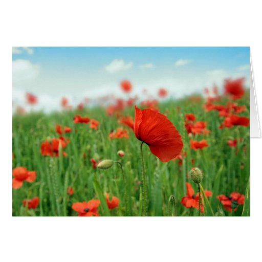 Red poppies field greeting card