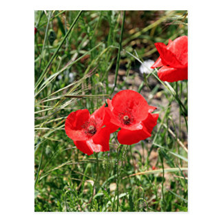 Red Poppies on El Camino Postcard
