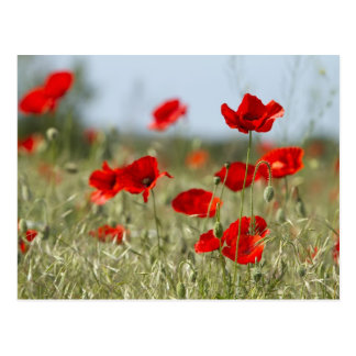 red poppies on the field postcard