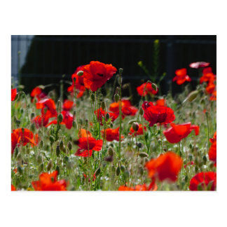 Red Poppies / poppy field  /  Roter Mohn Postcard