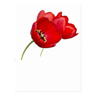 Red Poppies Poppy Flower Yellow Center Photograph Postcard